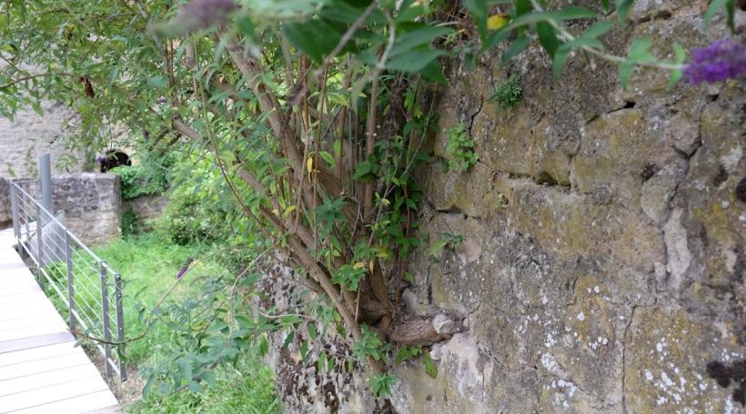 De Päiperlékstrausch ka ganz Maueren a Fassaden zerstéieren