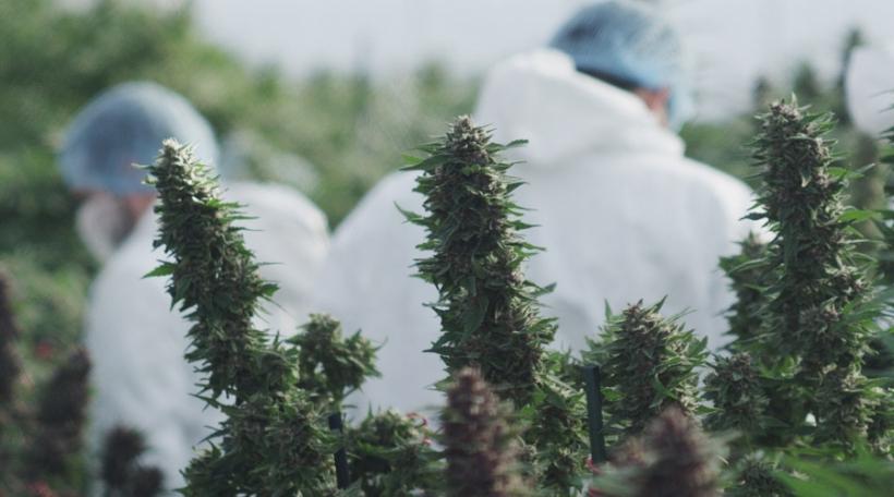 Cannabis Baueren