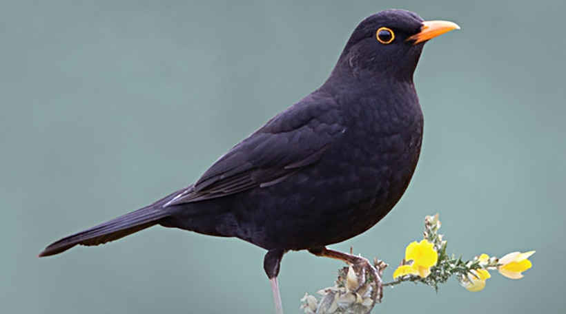dc_cork_02_blackbird_crop.jpg