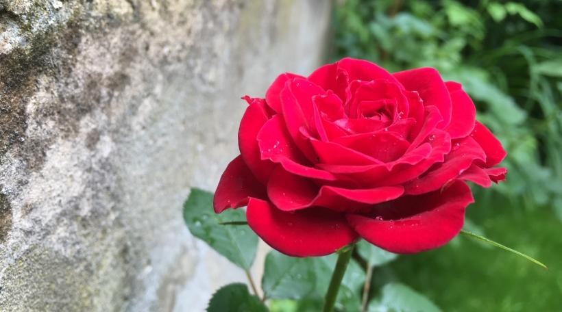 eine rose ist eine rose radio 100 7. Black Bedroom Furniture Sets. Home Design Ideas