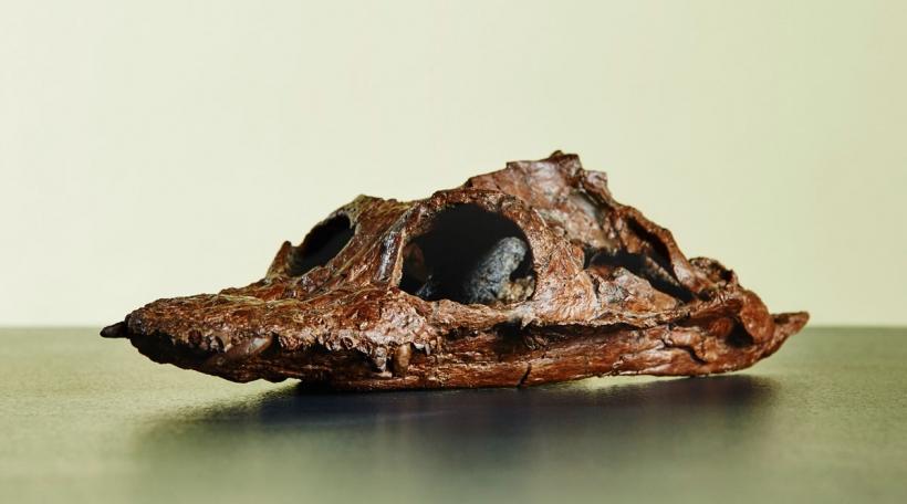 Crâne Plesiosaurus