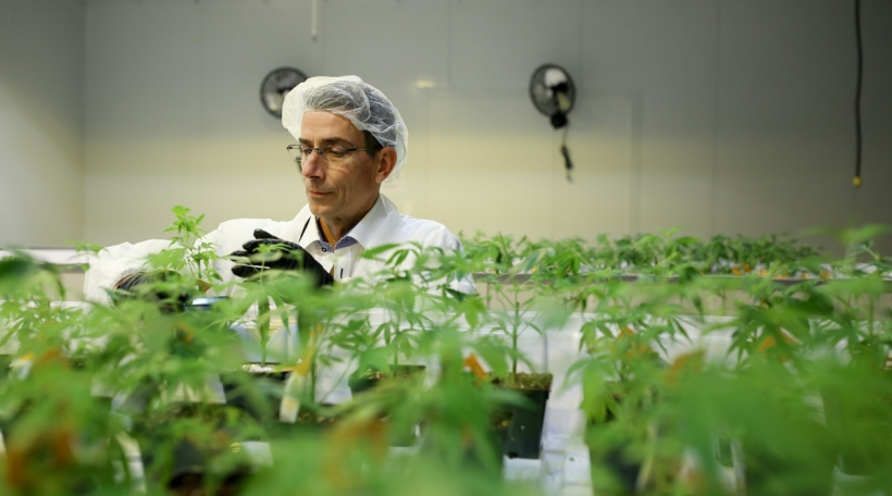 Een Employé vun Aurora Cannabis inspizéiert en Marihuana-Planz