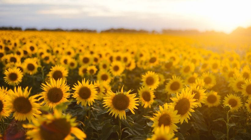 Sunflower field landscape. field of blooming sunflowers on a background sunset. Sunflower natural background Sunflower blooming