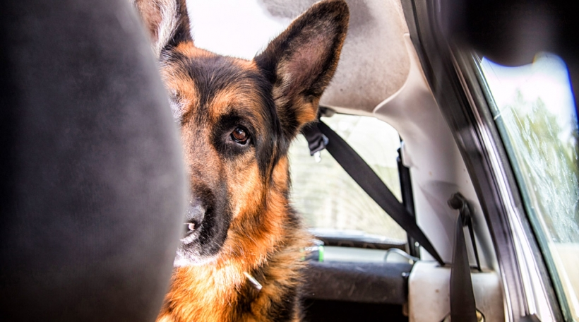 Hond am Auto