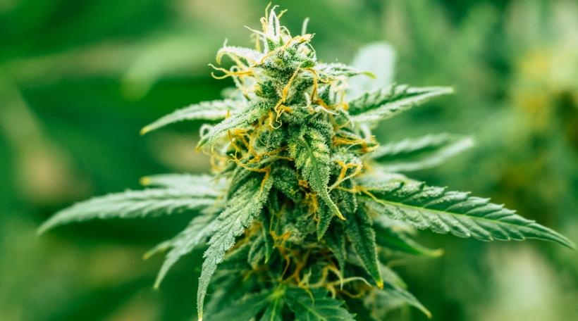 Cannabis Knosp