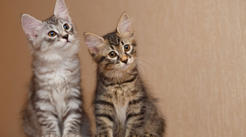 Two cute little kitty Bobtail sitting next to each other. Pets. Hypoallergenic cat breed. Tabby cat