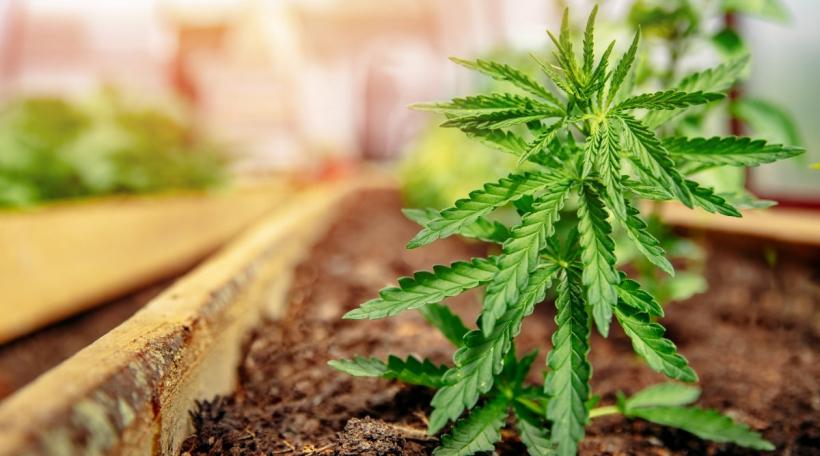 Eng Cannabisplanz
