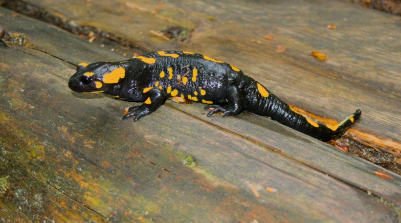 Ee Feiersalamander. Foto: Bigstock / asafaric