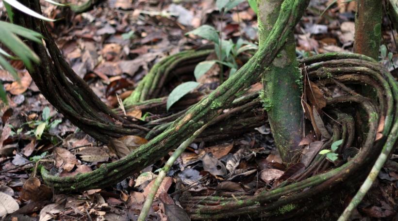 D'Lian Banisteriopsis caapi ass een Deel vum schamanistesche Gedrénks Yagé oder Ayahuasca (Foto: Tessy Steffen Koenig)